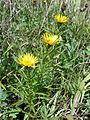 Inula ensifolia sl 2.jpg