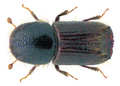 Ips typographus (Linné, 1758) (32558007471).png