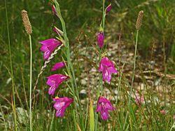 Iridaceae - Gladiolus palustris-4.JPG