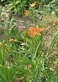 Iris domestica kz02.jpg