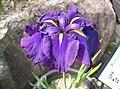 Iris ensata var ensata2.jpg