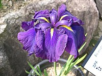 Iris ensata var ensata2