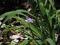 Iris gracilipes.jpg