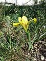 Iris humilis subsp. arenaria sl8.jpg