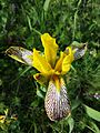 Iris variegata sl21.jpg