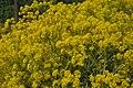 Isatis tinctoria flowers.jpg
