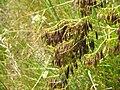 Isatis tinctoria fruits.jpg