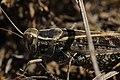 Italian Locust - Calliptamus italicus (21052038555).jpg