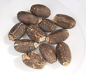 Jatropha curcas - Jatropha curcas seeds