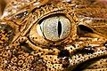 Jacaré-de-papo-amarelo (Caiman latirostris) - Broad-snouted caiman.jpg