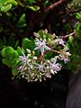 Jade plant blossoms in the rain.gk.jpg