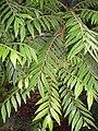 Jagera pseudorhus leaves.JPG