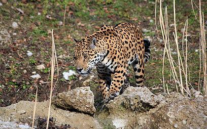 Jaguar (Panthera onca) Zoo Salzburg 2014 b.jpg