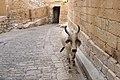 Jaisalmer, India, Jaisalmer Fort, Cow.jpg