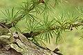 Japanese Larch Larix kaempferi Radial Sprigs 3008px.jpg