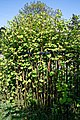 Japanese knotweed Fallopia japonica at Myddelton House, Enfield, London, England.jpg