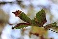 Jardin Compans Caffarelli, feuille d'automne.JPG