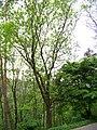 Jasan ztepilý - Fraxinus excelsior.jpg