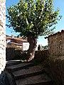 Jaujac - Village médiéval, vieil arbre.jpg