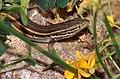 Jeanne's Sand Lizard (Psammodromus jeanneae) male (36583396525).jpg