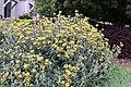 Jerusalem sage Phlomis fruticosa IMG 8734.jpg