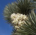Joshua Tree Panicle 1.jpg