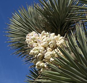 Yucca brevifolia - Flowers grow in panicles