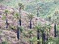 Jubaea chilensis (Fundación JBN de Viña del Mar) 19.jpg