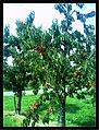 June Flower ^ Cherry Farming Endingen Kaiserstuhl - Master Seasons Rhine Valley Photography 2013 - panoramio (17).jpg