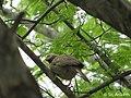 Jungle Babbler (argya striata).jpg