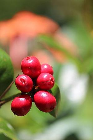 Ixora coccinea - Seeds