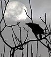 Künnivares (Corvus frugilegus) 09.jpg