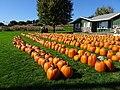 Kalscheur's Pumpkin Patch - panoramio - Corey Coyle.jpg