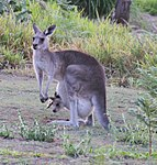 Kangaroo 1a (31103211942).jpg