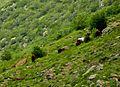 Karadağ, serbest dolaşan yabanı atlar - panoramio.jpg
