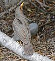 Karoo Thrush (Turdus smithi) (31967803894).jpg