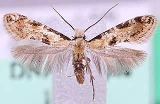 <i>Karsholtia marianii</i> species of insect