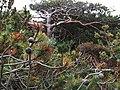 Kiefer mit Zapfen im Zauberwald.jpg