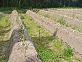 Kietz - Spargelfeld (Asparagus Field) - geo.hlipp.de - 39257.jpg