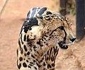 King cheetah at De Wildt Cheetah Research Centre (South Africa).jpg