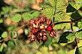 Kluse - Rubus phoenicolasius - Japanische Weinbeere 06 ies.jpg
