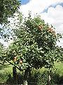 Knebusch Baum.jpg