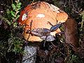 Koźlarz pomarańczowy 14.jpg