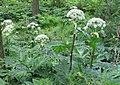 Korina 2011-06-24 Heracleum mantegazzianum 3.jpg