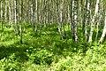 Korina 2014-06-06 Prunus serotina 2.jpg
