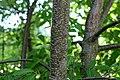 Korina 2015-06-30 Prunus serotina 4.jpg