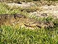 Krokodil (6558982377).jpg