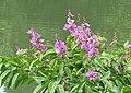 Lagerstroemia speciosa flowers 03.jpg