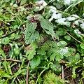 Lamium purpureum 109609783.jpg