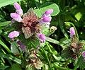 Lamium purpureum east Bohemia.jpg